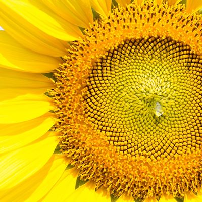 The Surprising Sunflower Energizes Body, Soul, and Planet