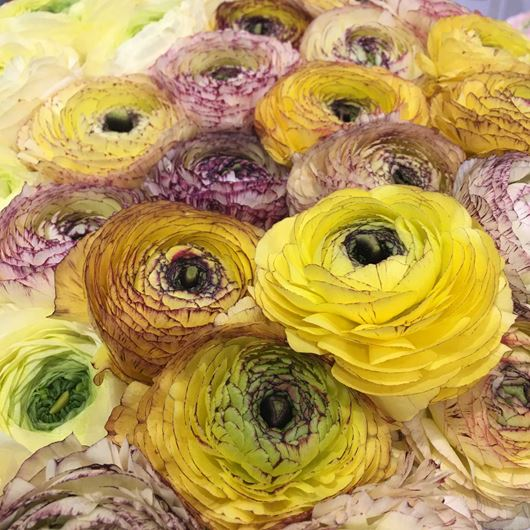 Striking, bicolor yellow and purple Ranunculus blooms.
