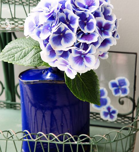 Bi-color Hydrangea (Hydrangea macrophylla) with pressed petals between glass. Photo: Rolinda Windhorst