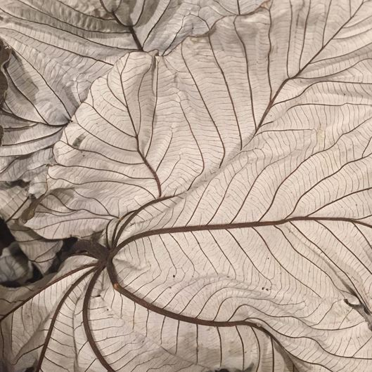 Cecropia leaves
