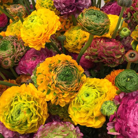 Ranunculus blooms are available in an assortment of colors and shapes.