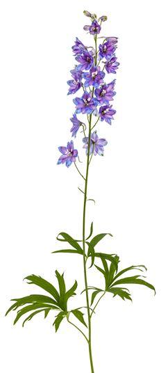 larkspur and delphinium flowers we love flower style magazine