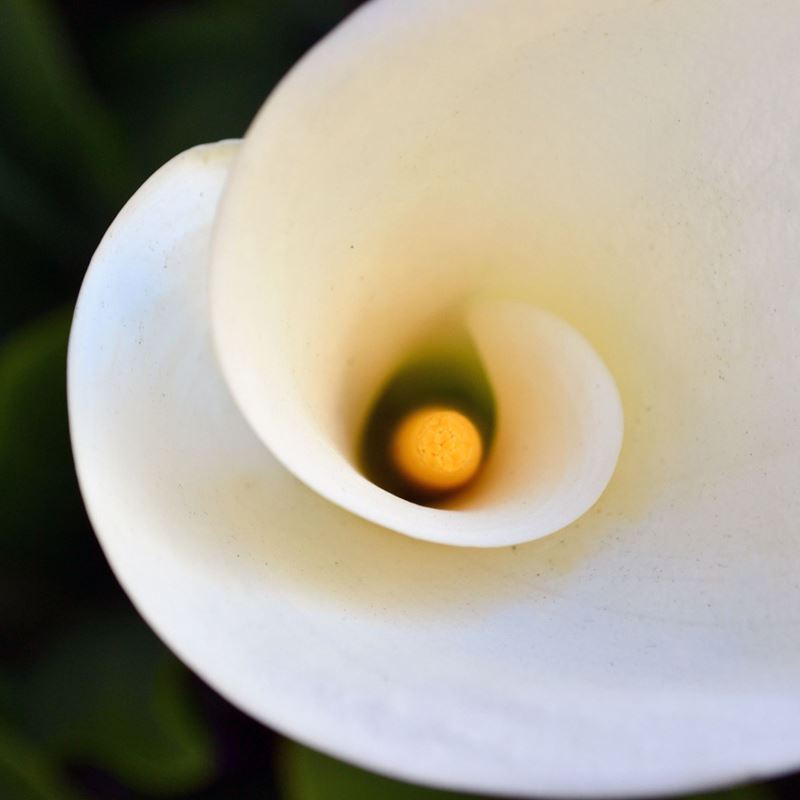 The Mixed-up, Misnomered, Misunderstood Persona of the Wildly Attractive Calla